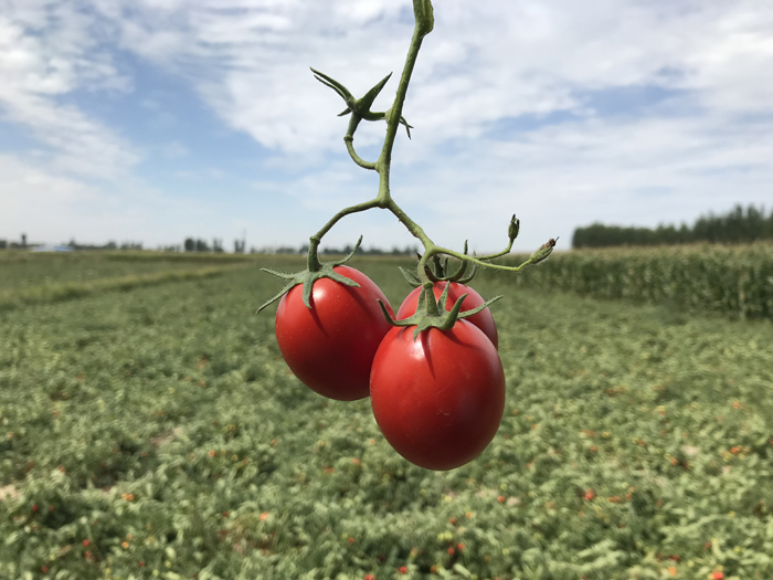 2019 Chinese tomato processing season is about to come to an end
